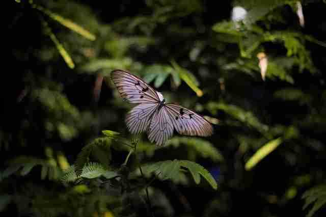 Butterfly_1.1_OktovinaButarbutar