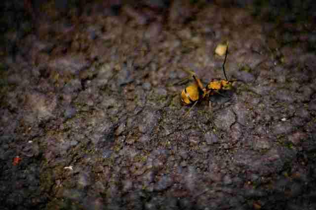 Forest Ant_1.1_OktovinaButarbutar